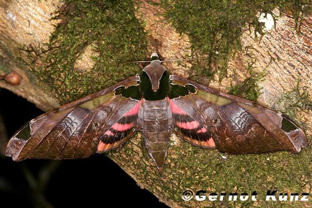 Sưu tập Bộ cánh vẩy 2 - Page 3 Adhemariusypsilon42CorcovadoPuntarensaCostaRicaJune24200830mGernotKunz