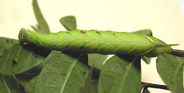 Sưu tập Bộ cánh vẩy 2 - Page 9 ProtambulyxstrigilisFlorida5ldorbr