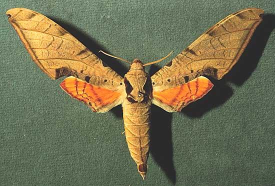 Sưu tập Bộ cánh vẩy 2 - Page 9 Protambulyxstrigilism